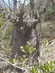 Adansonia digitata dwarf