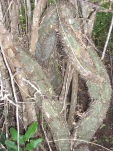 Adenia aculeata ssp. manganiana trunk