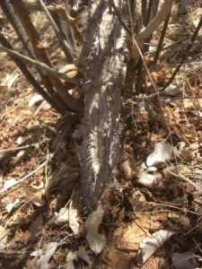 Adenia aculeata ssp.manganiana Rhamu