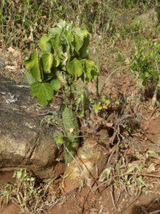 Adenia keramanthus with Sterculia rynchocarpa