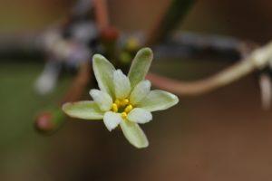 Adenia sp. flower