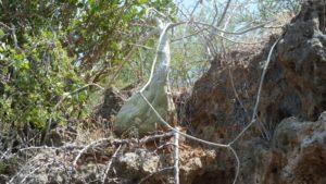 Adenia venenata