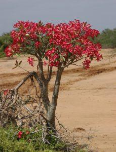 Adenium somalense Hola