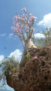 Adenium somalense bright flowers