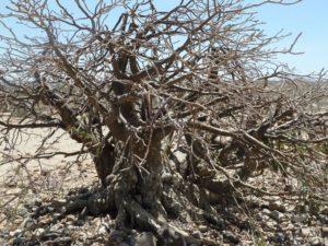 Adenium somalense hugh plant