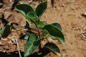 Baseonema gregorii leaves