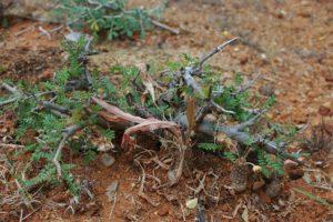 Boswellia neglecta with Dorstenia lancifolia