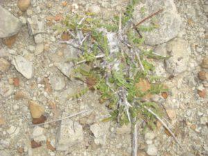 Boswellia rivae