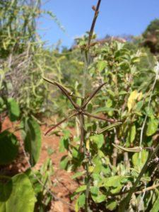 Caralluma gracilipes flower