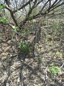 Cephalopentandra-eccirhosa