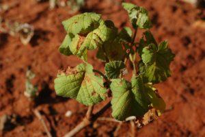 Cissus aphyllantha