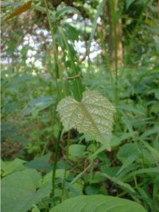 Cissus sp.Kikambala