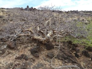 Commiphora West of Marsabit