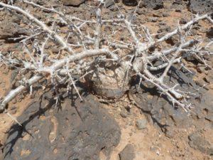 Commiphora kua Gof Choba