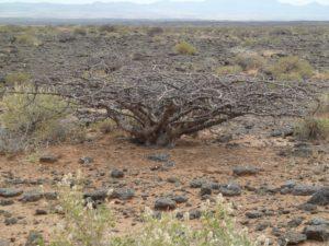 Commiphora sp. large