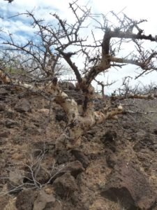 Commiphora spotted trunk