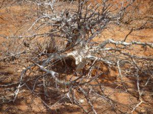Commiphora white bark