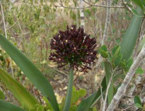 Cryptostephanus haemanthifolia