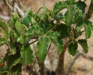 Cyphostemma adenocaule with Jatropha spicata