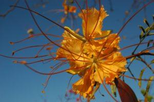 Delonix elata orange flower