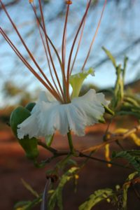 Delonix elata white flower
