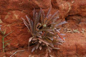 Dorstenia lancifolia