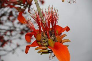 Erythrina burtii Flower