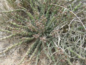 Euohorbia-sp.-Mukondoni-Fruits