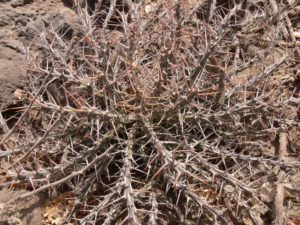 Euphorbia aff. kalisana