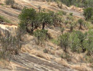Euphorbia classenii with tree Euphorbia