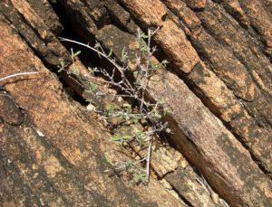 Euphorbia cuneata in rock