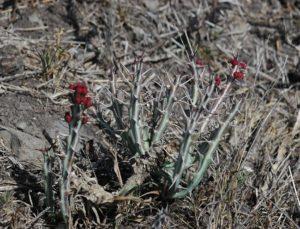 Euphorbia meridionalis