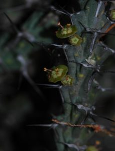 Euphorbia petricola flower
