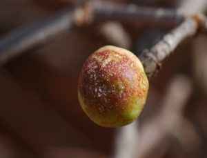 Euphorbia scheffleri fruit