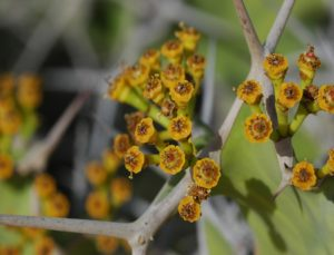 Euphorbia shrub flowering