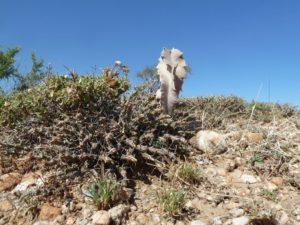 Euphorbia sp. Archers Post with Caralluma acutangula