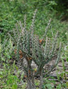 Euphorbia sp. Garsen