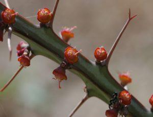 Euphorbia sp. North of Garissa