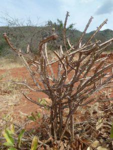 Euphorbia sp. Sagala