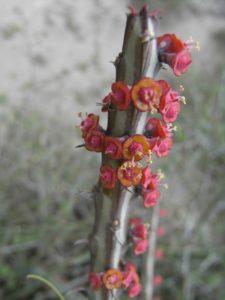 Euphorbia-tenuispinosa-Flower-Samburu