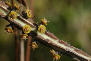 Euphorbia tenuispinosa Maji Ya Chumvi