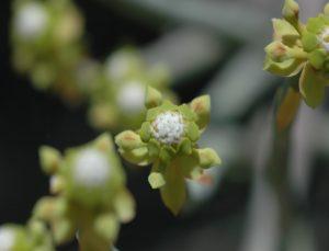 Euphorhia aff. gossypifolia