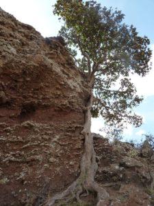 Ficus sp. North of Marsabit