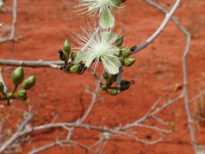 Maeura-edulis-flower