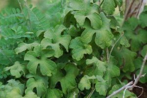 Pyrenacantha vitifolia leaves