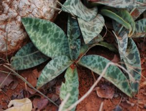 Scilla sp. white flower