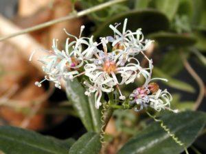 Senecio_sp._Marafa_flowers