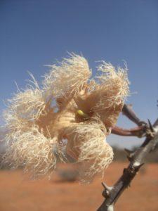 Sesamnothamnus busseanus flower