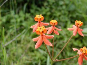 Stathmostelma-sp-Gongoni-Blüte
