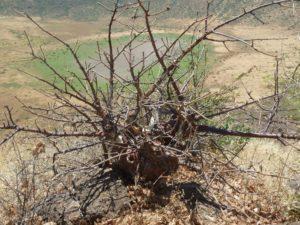 Sterculia rynchocarpa Gof Choba